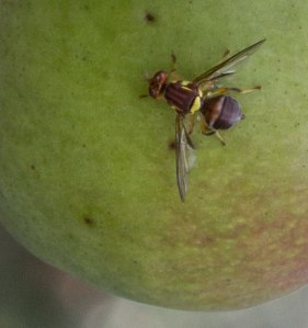 Small but distinctive ... and with a huge potential to wreak havoc in the garden. It's a fruit fly.